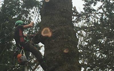 Pollarding Oak Tree At Greys Court, Henley- On-Thames